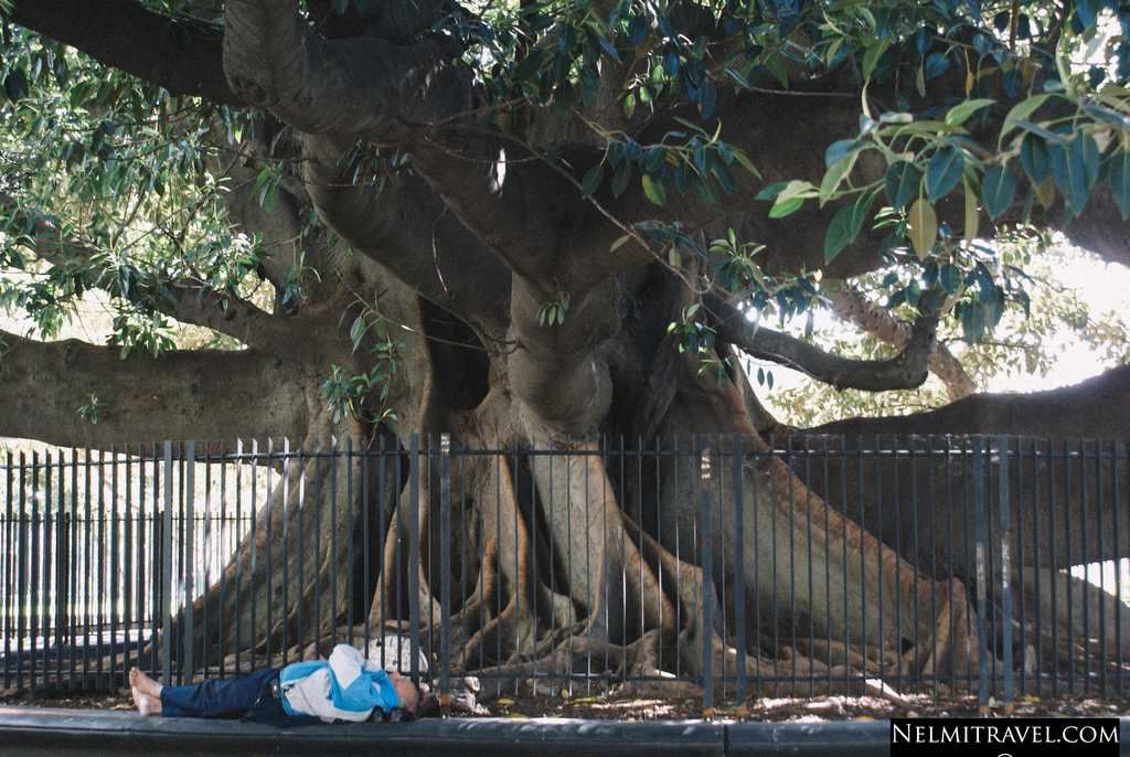 Huge Rubber Tree In Buenos Aires Close To La Recoleta Cemetery