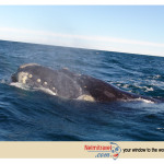 Whale Watching, Patagonia, Southern Right Whales, Sea Lions Patagonia, Whale watching Argentina