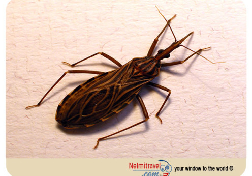 Chagas disease; Chagas disease symptoms; chagas disease pictures;