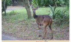 Bushbuck; Buh buck; Kéwel Bushbuck; Antelope; Knysna; South Africa